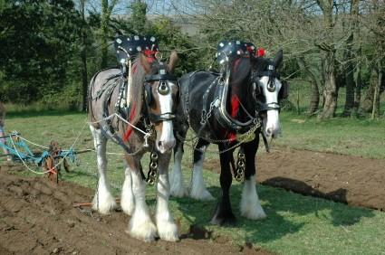 horses wearing brasses